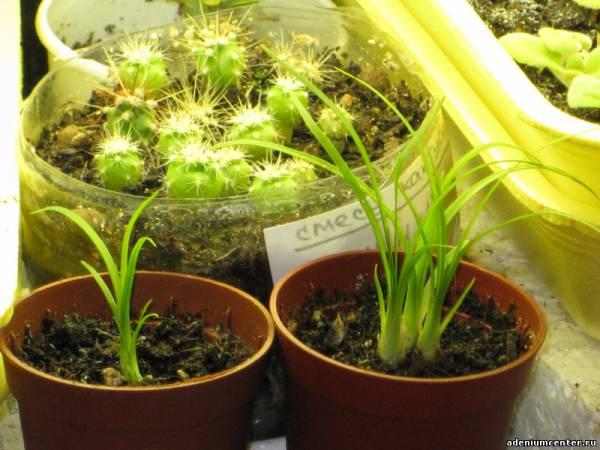 Как вырастить кактус из семян. Уход за сеянцами 35