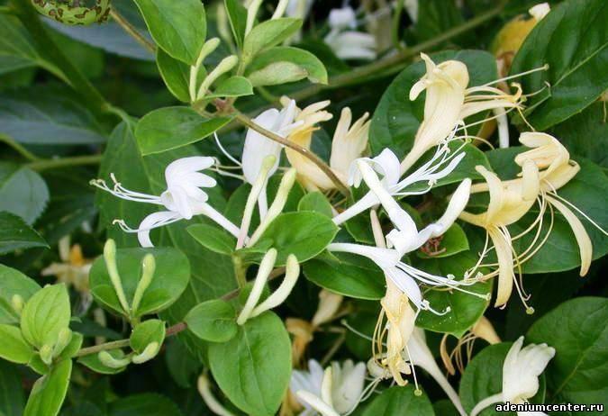 Фото вьющегося цветка с белыми цветами